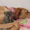 Starla cuddles a foster kitten